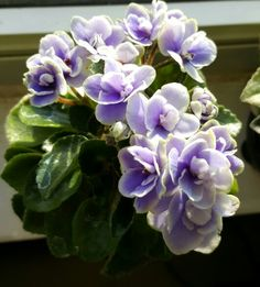 Mini African violet