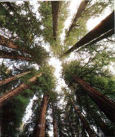 """Trees are poems the earth writes upon the sky.""  cushcoffee.com, Coffeeoath.com  Reach for the Skies"