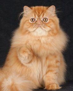 This one looks a little too much like me. Yikes. O gato persa representa o glamour no mundo dos felinos. Em gatinhos, são umas bolas de pêlo adoráveis que até acabam por se perder no seu pêlo longo. Aprenda a identificar, cuidados e outros aqui.