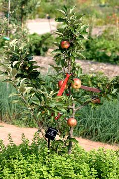 Companion plants for fruit trees including apples pears peaches cherries an Tomato Garden, Fruit Garden, Garden Trees, Edible Garden, Garden Bed, Planting Apple Trees, Espalier Fruit Trees, Trees And Shrubs, Companion Gardening