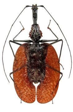 Mormolyce phyllodes, da grande família Carabidae. É conhecido como Besouro Violino, e é uma espécie de besouro terrestre. Possuem o corpo achatado em forma de folha, brilhante, translúcido, preto ou marrom, em forma de violino. Pode atingir um comprimento de 60-100 mm. Esta característica de mimetismo protege-os contra predadores, enquanto o seu corpo em forma plana permitir que eles habitem em rachaduras no solo ou sob a casca e folhas de árvores. Foi fotografado na província de Perak…