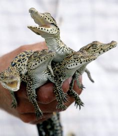 """What do you have there?"" "" Oh nothing. Just a hand full of MOTHER FUCKING BABY CROCODILES!!!"""