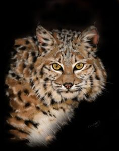 Behold the Bobcat - Print by Concetta Kilmer