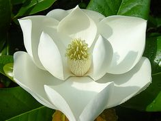 @Kayla Baum Grandma (Mary Alice) and Grandpa had  magnolias at their wedding :) Mom told me that last weekend. I never knew. Very beautiful.