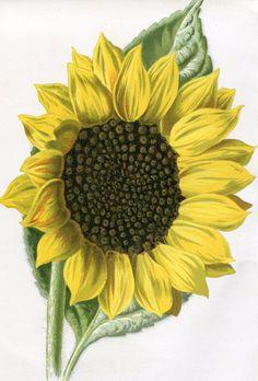 Antique Original Original Coloured Bookplate Color Book Plate Vintage Print E. Hulme Familiar Garden Flowers 1890 Sunflower. $8.95, via Etsy.