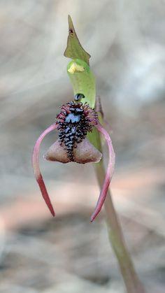 Autumn Bird Orchid: Chiloglottis reflexa - A flower in front-view