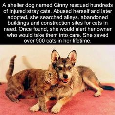 Shelter dog rescued over 900 cats - WTF fun facts and like OMG! get some yourself some pawtastic adorable cat apparel! Animals And Pets, Funny Animals, Cute Animals, Shelter Dogs, Rescue Dogs, Animal Shelter, Shelters, Wtf Fun Facts, Random Facts