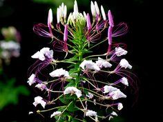 #cleome #cleome hassleriana #flower #purple #royalty free #spider flower #spider plant