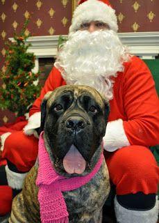 A Mastiff Blog: A Mastiff Christmas 2013