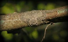 Did You Know?  What you see actually is a flat spider that's wrapping around twigs to camouflage itself preparing to glide anytime.