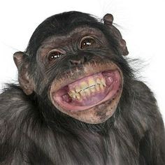 Buy Close-up of Mixed-Breed monkey between Chimpanzee and Bonobo smiling, 8 years old by Lifeonwhite on PhotoDune. Close-up of Mixed-Breed monkey between Chimpanzee and Bonobo smiling, 8 years old Primates, Smiling Animals, Funny Animals, Cute Animals, Laughing Animals, Animal Funnies, Animal Memes, Happy Weekend, Funny Animal Humor
