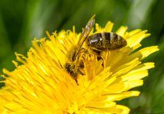 Honeybee & Dandelion
