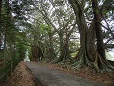 Google Image Result for http://www.thegreenedition.com/images/moreton-bay-fig-trees1.JPG