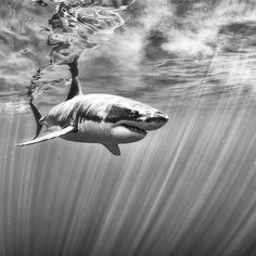 #guadalupeisland #greatwhiteshark #mexico