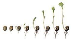 La duración del proceso de imbibición y de la formación de la plántula está marcado intrínsecamente por factores genéticos y condicionados por la temperatura, pero puede oscilar entre uno y veinte días. Para que las semillas germinen, es decir, para
