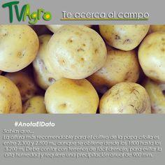 #AnotaElDato El 15% de la producción de papa en Colombia es criolla.