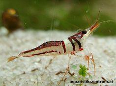 Harlekingarnele Caridina cf. spongicola