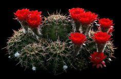 Echinopsis aurea Britton & Rose 1922 incl. Echinopsis dobeana (Dölz) J.G.Lambert 1998 (forma WR 527, San Fernando del Valle de Catamarca, Capital, Catamarca, Argentina, 550 m / 1804 ft) min.temp.<-12°C / <+10.4°F  full sun, red flower, neutral soil