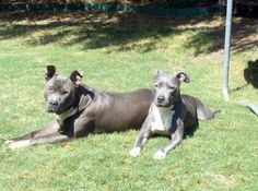 Two beautiful family pets; Lilo and Stitch are facing court ordered euthanasia based on breed specific prejudice. Don't let two more innoncent lives be lost based on ignorance and descrimination.