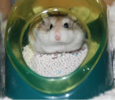 Gotta know: Believe it or not it is possible to train you hamster to potty in one spot. Because hamsters are clean animals, they generally go to the bathroom in one spot anyway, so all you have to do is find that corner and train him to use the litter box...