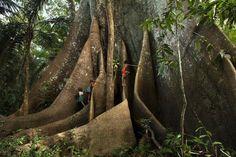 Madeireiros serram árvore mais antiga do mundo ''acidentalmente'' em floresta amazônica ~ Sempre Questione - Últimas noticias, Ufologia, Nova Ordem Mundial, Ciência, Religião e mais.