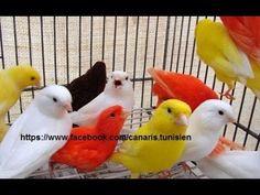chardonneret algérien noire x canari - YouTube Cute Birds, Pretty Birds, Beautiful Birds, Parrot Craft, Canary Birds, Pet Names, Colorful Birds, Serin, Bird Feathers