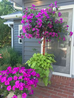 Bougainvillea Tree, Patio Flowers, Potted Plants, Full Sun More