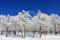 Oak forest in winter. Frozen snow covering the branches of the trees. Contrast between snow and blue sky. Metaphoric analogy for teaming and being united on harsh conditions Snow Forest, Oak Forest, Blue Forest, White Oak Tree, Frozen Snow, Tree Branches, Trees, Landscaping Images, Clear Blue Sky