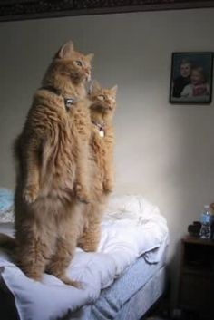 16 Cats Who Think They're Kangaroos - Tiere - Gatos I Love Cats, Cute Cats, Funny Cats, Funny Animals, Cute Animals, Silly Cats, Weird Cats, Creepy Cat, Funniest Animals