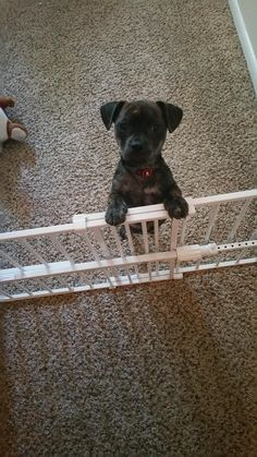 Harley does not approve puppy jail!  via: