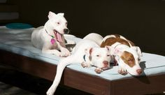What a trio! Meet Sophie, Sadie and Saffie. They were all adopted through Pit Bull Happenings Rescue in Florida. Their Mom and Dad love each one's unique personality. Saffie can be a little skittish, but loves to run. Sadie is very independent and likes things done her way. And Sophie is the love bug. Now they're one big happy family.