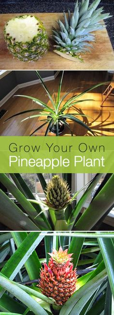 Did you know that if you replant the top of a pineapple, not only will it grow, it grows into a very cool, modern looking house plant that you can enjoy all winter?!