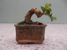 Bonsai Mame, Planter Pots, Shrubs, Miniatures, Flowers