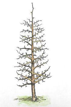 Rez jablone: Poradíme vám, ako postupovať, keď tvarujete štíhle vreteno Dandelion, Flowers, Plants, Gardening, Dandelions, Garten, Flora, Plant, Royal Icing Flowers