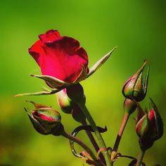 #rose #flower #flowers #ig_flowers #superb_flowers #FlowerStalking #wp_flower #薔薇