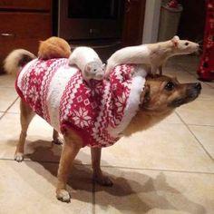 This festive rat-whisperer dog.
