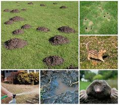 how to get rid of moles in your yard naturally