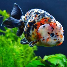 """Tellus #goldfishunion #goldfishtank #fancygoldfish #goldfish #gullfisk #slørhale #ranchu"""
