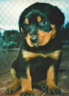 Rottweiler puppy. I want one. So cute!