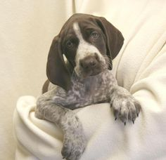 Clover ~ German Shorthaired Pointer Pup ~ Classic Look