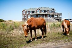 The wild horses of the Outer Banks.