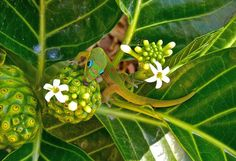 Madagascar Gold Dust Day Gecko licking nectar from a young noni fruit in Kailua, Hawaii. (National Geographic)