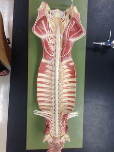 Spinal Nerves, Brachial Plexus, Lumbar Plexus, Cevical Plexus, and Cranial Nerves