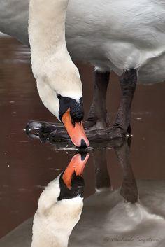 Mute Swan | por ~ Michaela Sagatova ~