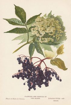 Elderflower botanical print
