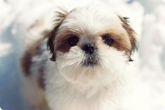 shih tzu / Shitzu / 西施犬 / Chinese Lion Dog / Chrysanthemum Dog Puppy