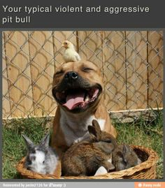 typical pit bull...