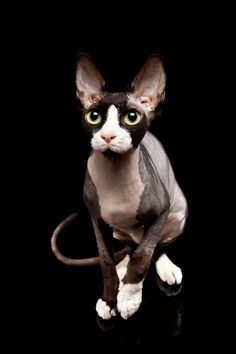 Glabella - Sphynx, Peterbald & Bambino i Norge - Hunner