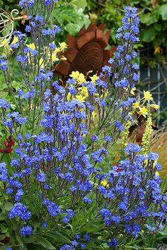 Anchusa azurea - perennial drought tolerant, deer proof & snailproof, 4' t x 3' w