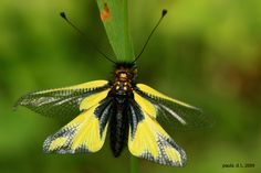 Libelloides coccajus  also called Owly Sulphur, is a rare insect found in parts of Europe.  It is of the order neuropteran, which includes lacewings, and mantidflies.